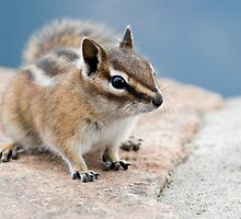 Little chipmunk by Eivor Kuchta