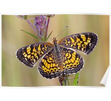 Pearl Crescent Butterfly on Wildflowers Poster