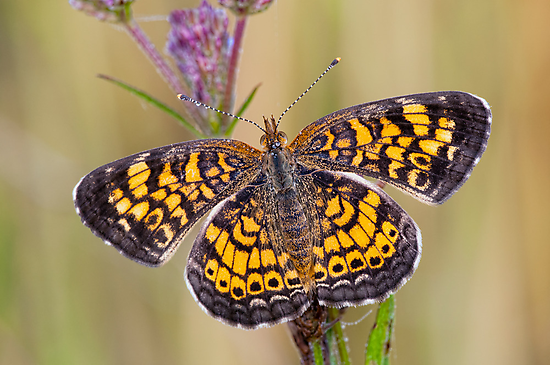 Pearl Crescent Butterfly on Wildflowers by Bonnie T.  Barry