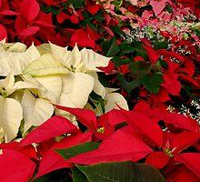 Christmas Poinsettia, ne1189 by Tony Weatherman