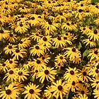 Black-Eyed Susans by Christine &quot;Xine&quot; Segalas