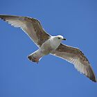 Seagull in Flight by janlou