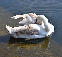 Young Cygnet Preening by janlou