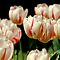November Avatar ~ Tulips and More Tulips
