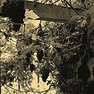 A Walk Around Hazelbank..In the old greenhouse ...with grapes. by oulgundog