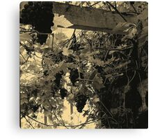 A Walk Around Hazelbank..In the old greenhouse ...with grapes. Canvas Print