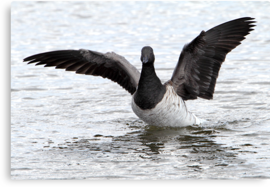 Brant Goose Wingstretch by Gary Fairhead