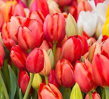Tulips by GSakamoto