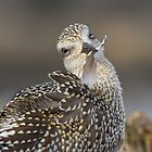Black-bellied Plover Feather Maintenence. by Daniel Cadieux