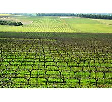 Ferngrove Vineyard # 2 Photographic Print