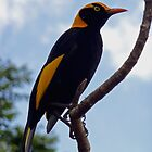 Regent Bowerbird by Margaret  Hyde