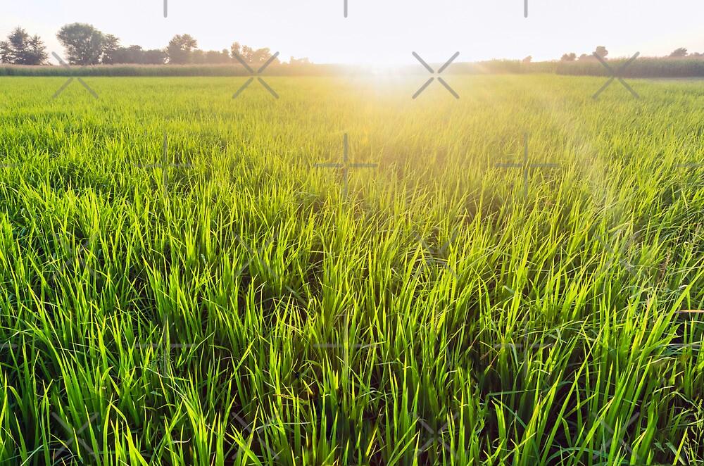 Paddy field by M-A-K