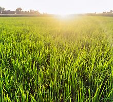 Paddy field by M-A-K