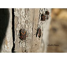 Boxelder Bug Congregation Photographic Print