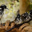Newholland honeyeaters by Keith Smith