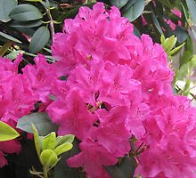Pink Rhodies in Bloom by Pat Yager