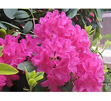 Pink Rhodies in Bloom Photographic Print