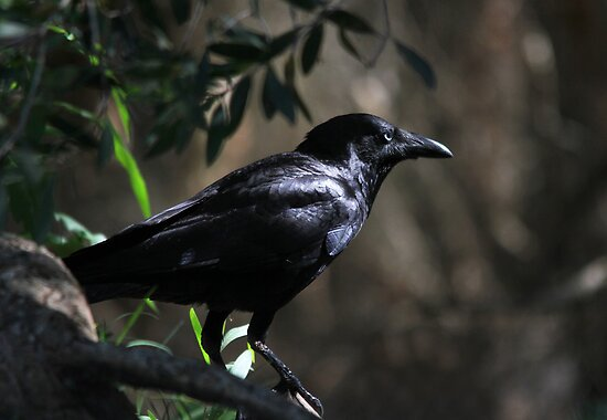 Mr Crow by byronbackyard
