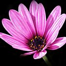 Osteospermum on Black by Astrid Ewing Photography