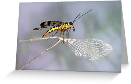Scorpionfly by jimmy hoffman