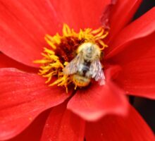 Bee on Dahlia Flower Sticker