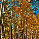 Golden Aspens by photecstasy