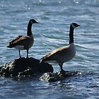 Canadian Geese by Lorelle Gromus
