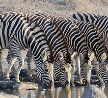 Zebras by jeff97