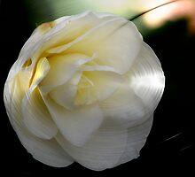 Camellia  Japonica by Dale Lockridge