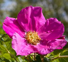 Wild Rose by Imager