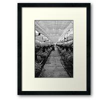 Gypsophilia Framed Print
