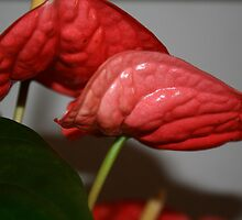 Red Anthurium by Onehun