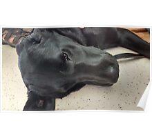 Adorable Black Labrador Pup Poster