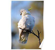 Sulphur Cockatoo At Cedar Creek. Queensland, Australia. Poster