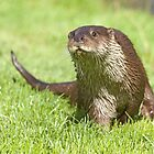 Curious otter by Anthony Brewer
