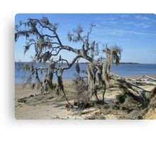 spanish moss covered tree Canvas Print