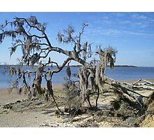 spanish moss covered tree Photographic Print