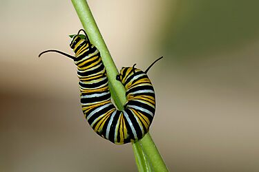 Monarch butterfly Caterpillar by Sunchia Milic