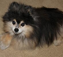 Max - Prince of the Pomeranians by Deanna Heitschmidt
