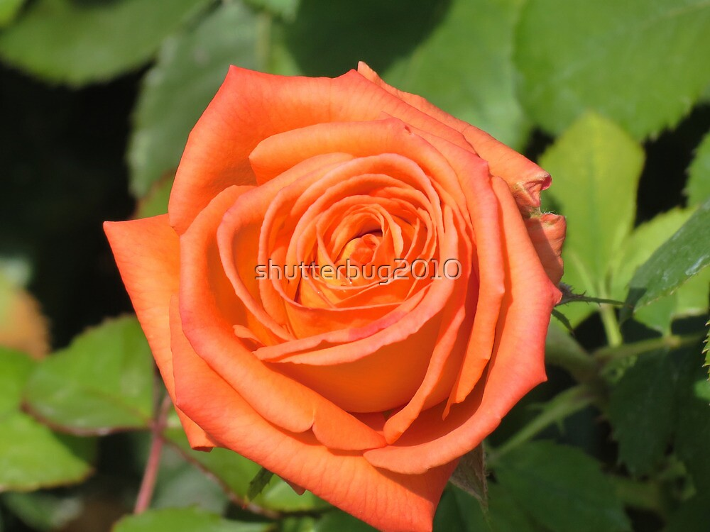 A Rose for Peach by shutterbug2010
