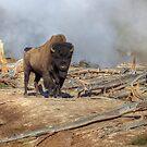 Geyser Bison (1) by JamesA1