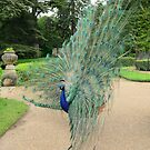 Peacock Glory by Nick Field