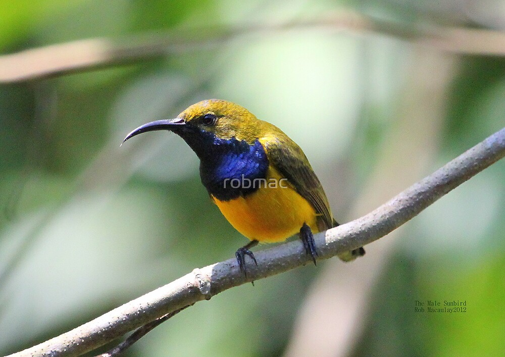 The Male Sunbird by robmac