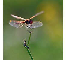 Dragonfly in flight Photographic Print
