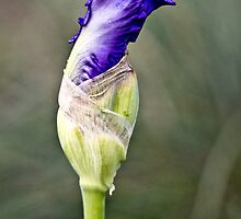 Raindrops on Iris by Cathy Middleton