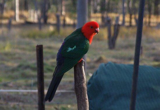 """Elvis"" The King Parrot by Mark Batten-O'Donohoe"
