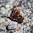 NZ Spotted Butterfly by KazM