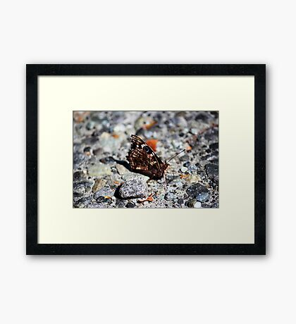 NZ Spotted Butterfly Framed Print