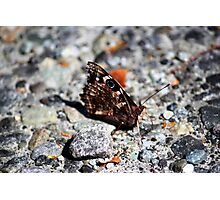NZ Spotted Butterfly Photographic Print