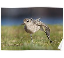 Black-bellied Plover Stretch Poster